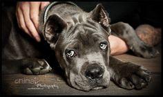 Cane Corso » Nina K Photography