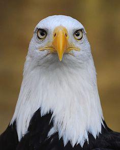 Bald Eagle by Saffron Blaze on Getty Images Pretty Birds, Beautiful Birds, Animals Beautiful, Eagle Pictures, Animal Pictures, Bird Pictures, Pictures Images, All Birds, Birds Of Prey