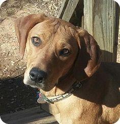 Powder Springs, GA - Rhodesian Ridgeback. Meet ROWAN, a dog for adoption. http://www.adoptapet.com/pet/12042169-powder-springs-georgia-rhodesian-ridgeback
