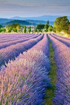Frankrijk, lavendelveld