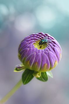 Purple bud with fly