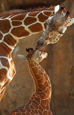 Momma giraffe loves her baby!