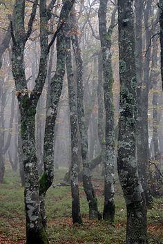 Hornbeam, Carpinus betulus, woodland, France