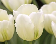 Tulip Bulbs On Sale | The Finest and Freshest Tulip Bulbs For Sale at Eden Brothers