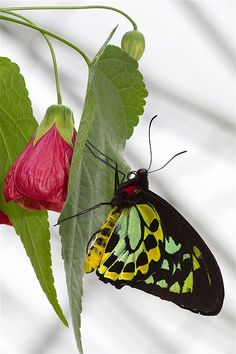 An unknown butterfly perches on what looks like a hibiscus that has seen better days.