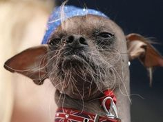 old Mugly, a hairless Chinese Crested rescue dog, has taken home first place in the Annual World's Ugliest Dog Contest at the Sonoma-Marin Funny Cats, Funny Animals, Cute Animals, Funny Memes, Pretty Animals, Funny Quotes, World Ugliest Dog, Ugliest Dog Contest, Cool Stuff