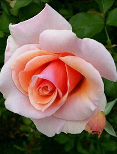 Beautiful Rose Flowers, Pretty Roses, Love Rose, Amazing Flowers, Beautiful Flowers, Orange Roses, Pink Roses, Pink Flowers, Rose Reference