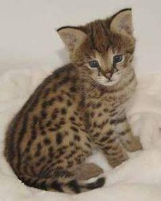 Savannah cats savannah central, savannah kittens sale, The savannah breed is a…