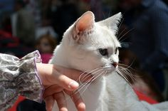 """One of the many subtle ways that our cats communicate their affection for us is through their tails. Animal behaviorist Marilyn Krieger says that a curved tail, puffed up at the base and subtly quivering is a surefire """"I love …"""