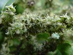 Homalium Dentatum           Forest Homalium/Brown Ironwood           Bosbastermoerbei           10-20 m         S A no 501