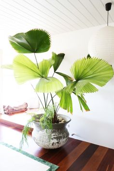 gorgeous large fan leaf palm