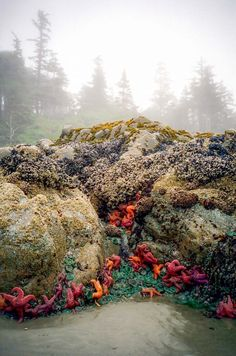 I love the colourful starfish and the rocky coastal rocks on Vancouver Island. Low tide on Chesterman Beach, Tofino, Vancouver Island. Vancouver Island, Canada Vancouver, Montreal Canada, Sunshine Coast, British Columbia, Rocky Mountains, Places To Travel, Places To See, Canada Travel
