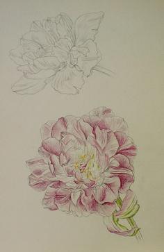 Tulip-Chisako Fukuyama,  Pencil drawing,  http://chisako-fukuyama.jimdo.com/pencil-drawings-dessin/