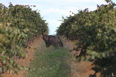 Kangaroos in the Cumulus Wines Vineyards in Orange NSW #wine #seeaustralia #orange #nsw
