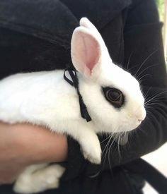 Adorable hotot bunny