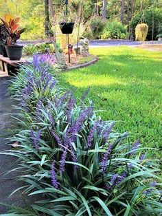 Monkey grass easy care plant maintenance garden landscaping front yards 25 Plants That Survive With or Without You Outdoor Landscaping, Outdoor Plants, Outdoor Gardens, Front Landscaping Ideas, Florida Landscaping, Landscaping Plants, Backyard Plants, Front Yard Gardens, Front Yard Plants