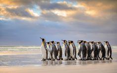 penguins, falkland islands, atlantic ocean