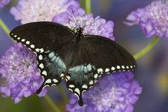 The Spicebush Swallowtail Butterfly, Papilio troilus, photographed by:  Darrell Gulin