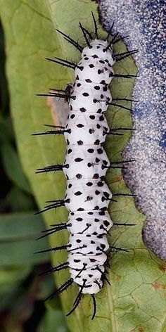 Zebra Longwing Caterpillar: 21 Stunning Caterpillars That Are Little Leaf Munching Works Of Art Cool Insects, Flying Insects, Bugs And Insects, Beautiful Bugs, Beautiful Butterflies, Paper Butterflies, Beautiful Flowers, Caterpillar Insect, Mantis Religiosa