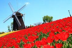日曜日朝起きたら最高の天気だったので、鶴見緑地へGO!花博記念公園鶴見緑地風車の丘風車前のチューリップ、最高!春だなぁ~♪そして、このチューリップの反対側(丘の...