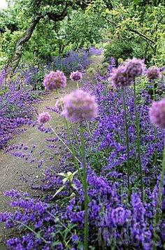 Who are they waiting for ? The Queen or just me ? Grow-Your-Own spectators. Catmint and allium ~ flanking a path.