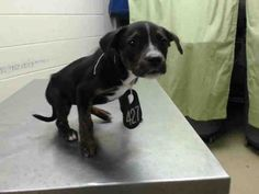 04/25/15-HOUSTON-PUPPY!! This DOG - ID#A430709 I am a female, black and brown Labrador Retriever mix. The shelter staff think I am about 9 weeks old. I have been at the shelter since Apr 21, 2015.