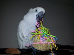 Angel enjoying her Loofah Popper talon toy - Thank you, Tracy Hylka! Toys For Us, Bird Toys, Cockatoo, Angel, Photos, Pictures, Angels