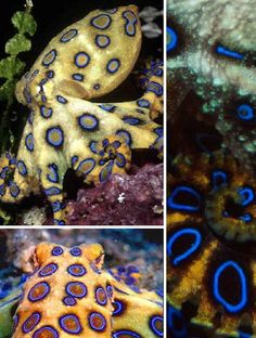 Exotic and deadly, the Blue-ringed Octopus takes fatal attraction to an entirely new level. This small, shy octopus is found in the coastal waters of the Pacific Ocean and uses its paralyzing venom to subdue the small fish and shrimp which are its usual prey.