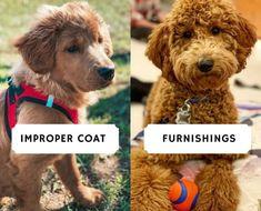 Improper Coat Goldendoodle and Furnishings! (2021) 12 Goldendoodle Breeders, Labradoodle, Love Doodles, You Doodle, Hair Shedding, Pet Dander, Poodle, Puppies