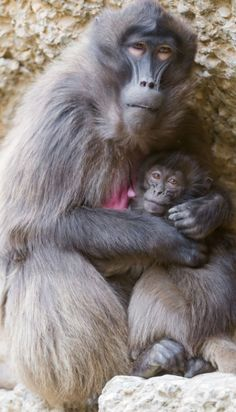 Mother baboon & baby