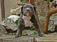 Purebred American Bully - Pocket puppies & dogs for sale. American Bully Pocket, Pocket Bully, Puppies For Sale, Dogs And Puppies, Bully Dog, Pitbulls, Baby, Animals, Animales