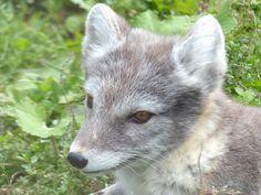 http://faaxaal.forumgratuit.ca/t3866-photo-de-mammifere-renard-arctique-renard-isatis-vulpes-lagopus-arctic-fox-white-fox