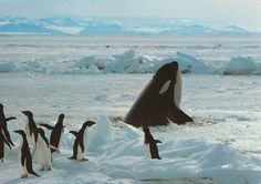 "Orca/Killer whale & penguins ""better get off the Ice. Most Beautiful Animals, Beautiful Creatures, Rhapsody Of Fire, Life Under The Sea, Underwater Creatures, Oceans Of The World, Water Life, Killer Whales, Whale Watching"