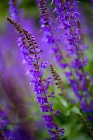 purple flowers google search