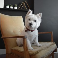 29 Pictures That Prove You Should Never Own A Westie