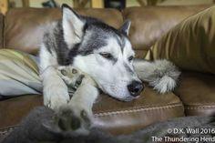 Frankie says Any Boom Will Do #dog #siberianhusky #husky