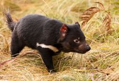The Tasmanian devil is a carnivorous marsupial of the family Dasyuridae, now found in the wild only on the Australian island state of Tasmania.