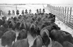 Bison were rounded up in Wainwright, Alberta, and transported by land and river to Wood Buffalo National Park in the far north of Alberta.