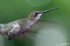 How To Photograph Hummingbirds TravelThroughPictures.com