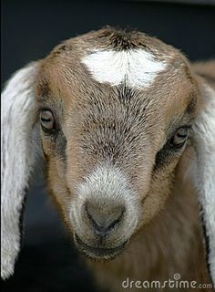 It's time to choose a goat!!!! Baby Nubian Goat. Such a sweet face!