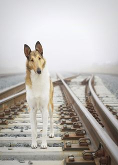 Smooth, Sable Collie - I absolutely adore Collies, they're my top favorite breed. Smooth or rough, I'd like to have one of my own someday. They have all the qualities I am looking for in a dog. <3