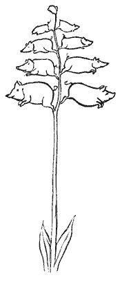 Piggiwiggia Pyramidalis - Edward Lear