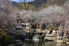 Peach Blossoms at Beijing Botanical Garden
