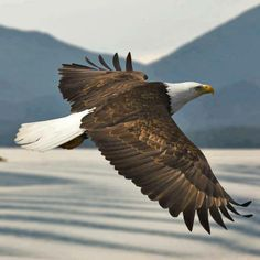 Tea Party senators introduced a bill last week that would effectively end the protection of most endangered species Uplifting Christian Quotes, Wings Like Eagles, Eagle Print, Eagle Wings, Endangered Species, Bird Prints, Cover Photos, Great Photos, Pet Birds