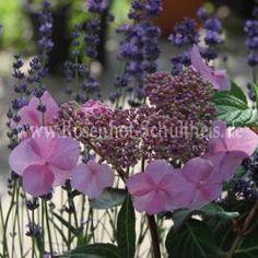 Twist & Shout - Endless Summer - Rosa - Hydrangea - Pflanzen - Rosen von…