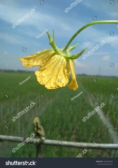 Flower Benincasa Hispida Wax Gourd Chinese Stock Photo (Edit Now) 1633543459 Blue Sky Background, Gourds, Fields, Photo Editing, Wax, Royalty Free Stock Photos, Illustration, Artist