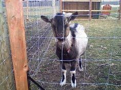 Hobby Farming: Goat Basics