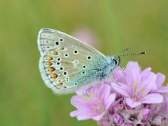 Butterfly in Pastel Shades.