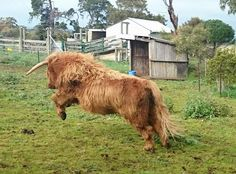 Crazy Coo Scottish Highland Cow, Highland Cattle, Scottish Highlands, Long Haired Cows, Farm Animals, Cute Animals, Fluffy Cows, Dairy Cattle, Cow Art
