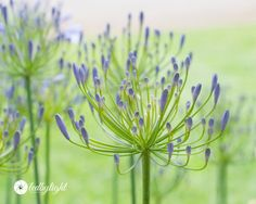 Purple Flowers Soft Bokeh 8x10 Print by LedByLight on Etsy
